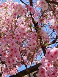 09庭桜-1.jpg