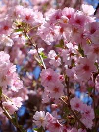 09庭桜-2.jpg