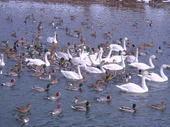 白鳥 (11).jpg